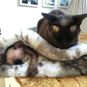 en nakenkatt i sovpåse och en stor katt ovanpå